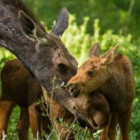 moose mother and twin calves caress